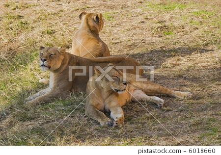 狮子 母狮 母老虎