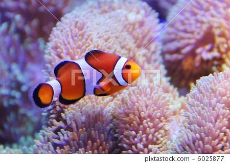 小丑魚 熱帶魚 在海洋里圖片