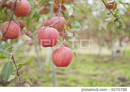 苹果 水果 苹果树上