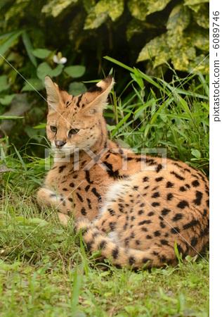 动物 陆生动物 猫科