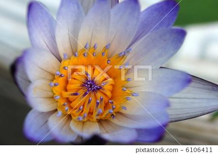 图库照片: 热带睡莲 浮叶植物 耐寒