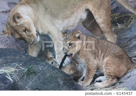 动物_鸟儿 狮子 照片 父母身份 父母和小孩 狮子 首页 照片 动物_鸟儿