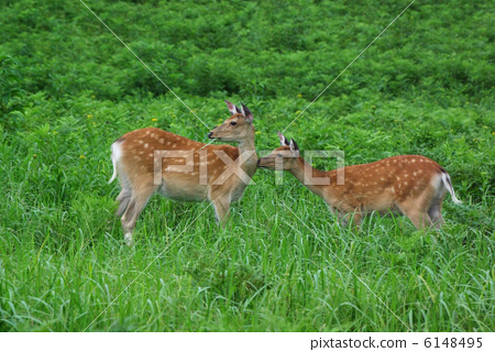 鹿 野生生物 动物宝宝
