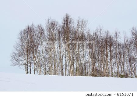 日本白桦 银桦树 桦树