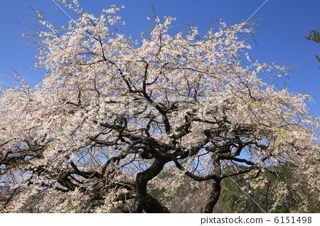 樱花 江户彼岸樱树 樱桃树