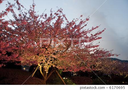 樱桃树 川角樱桃花 夜晚的樱花树