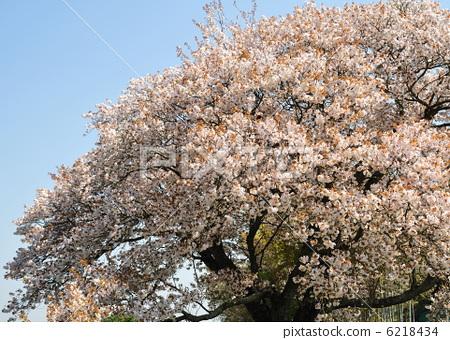 野樱桃花 盛开 野樱桃树