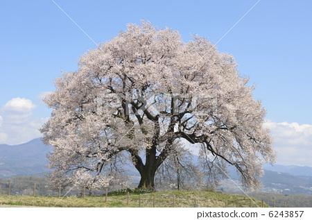 照片素材(图片): 樱花 樱 江户彼岸樱树