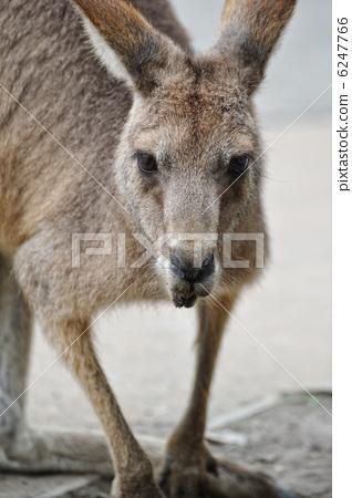 袋鼠 动物 stock photos