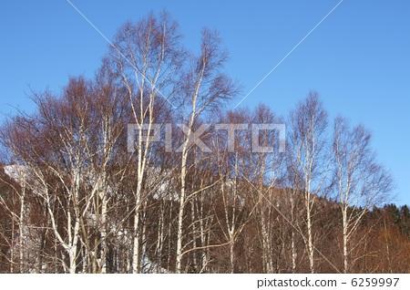 首页 照片 运动_运动 冬季运动 滑雪 桦树 桦木 白桦  *pixta限定素材