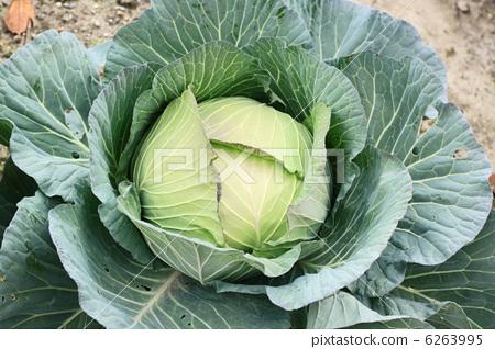 蔬菜_食品 叶_叶菜类 包菜 照片 甘蓝 包菜 卷心菜 首页 照片 蔬菜_食