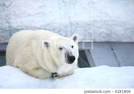北极熊 白色 动物园
