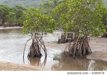 红树属植物 丛林 滨水
