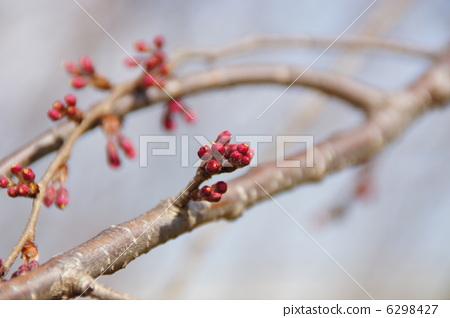 樱桃树 花蕾 发芽