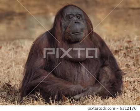 首页 照片 动物_鸟儿 陆生动物 猩猩 猩猩 女性 女  *pixta限定素材仅