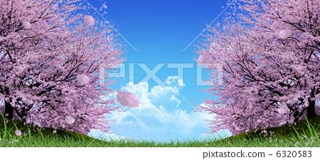 樱花 吉野樱花树 一排樱桃树