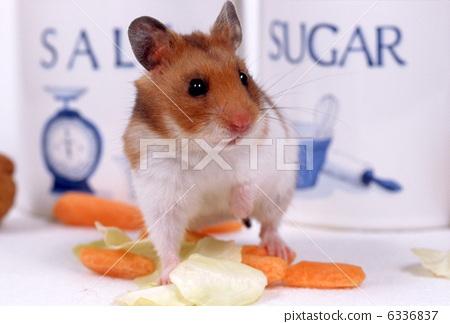 图库照片: 仓鼠 小动物 动物