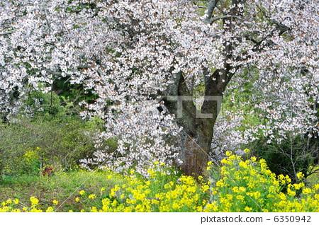 花朵 樱桃树 野樱桃花