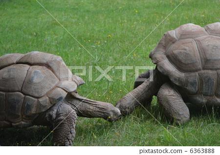 图库照片: 乌龟 野生动物 头巾