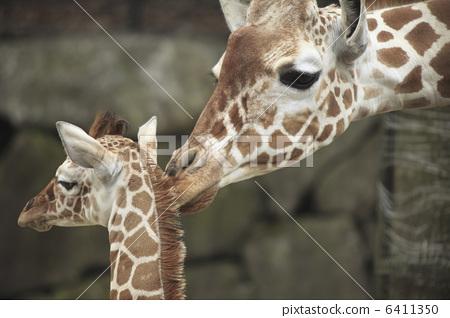 照片: 长颈鹿 父母和小孩 动物