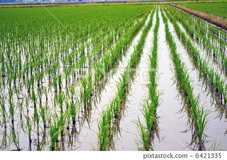 照片素材(图片): 稻田 田园 田园风景