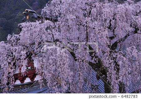 花朵 树枝低垂的樱花树 花