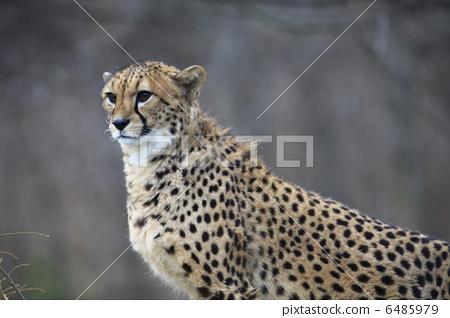 图库照片: 动物 猎豹 稀有动物
