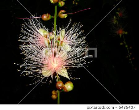 花朵 玉蕊 花