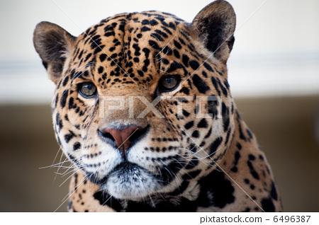 照片 工艺品 动物 肉食动物 美洲虎 食肉动物  *pixta限定素材仅在