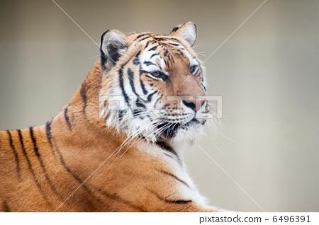 陆生动物 老虎 肉食动物 西伯利亚虎 食肉动物  *pixta限定素材仅在