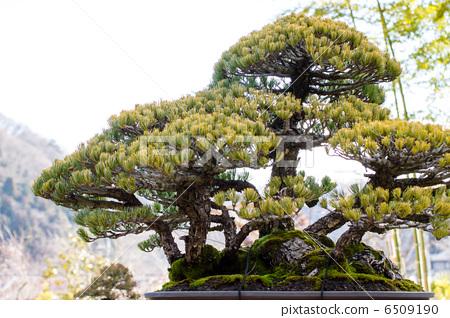日本五针松 盆栽 松树