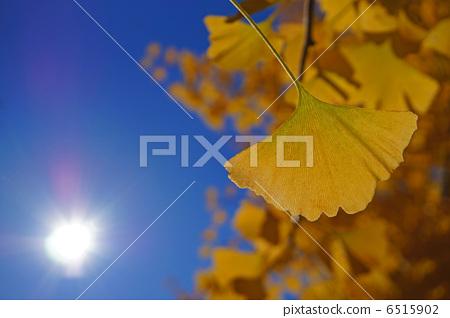 银杏树 叶子 树叶
