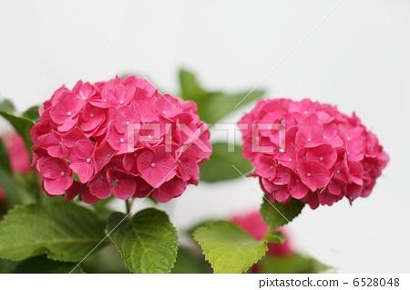 绣球花 复制空间 粉色