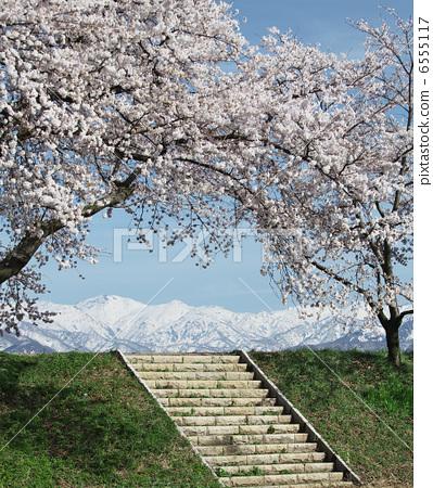 樱桃树 樱花 吉野樱花树
