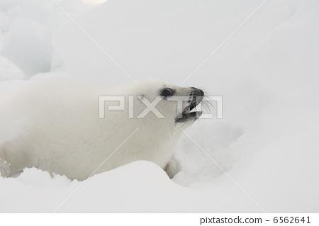 竖琴海豹 密封 海洋生物