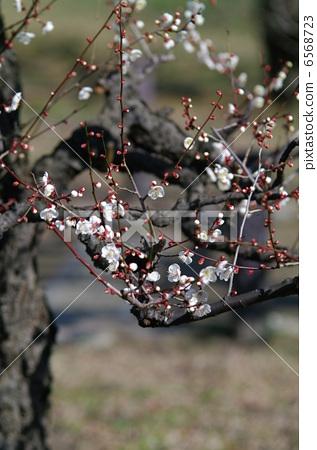图库照片: 梅花 日本杏花 一朵梅花