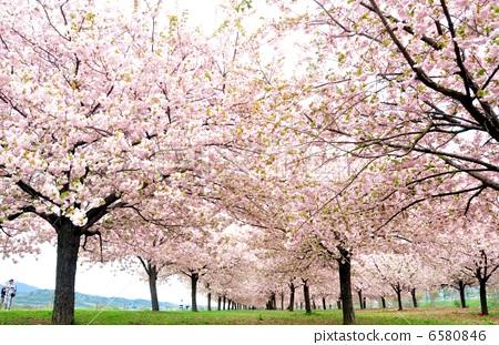一排樱桃树 重瓣樱树 盛开