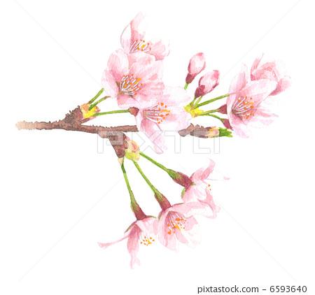水彩画 樱桃树 樱花