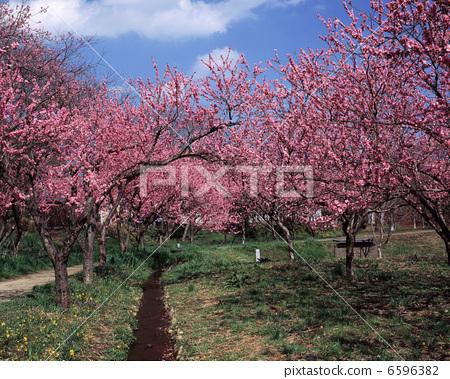 桃树简笔画漂亮