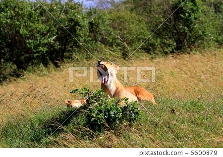 lions, lion, yawning