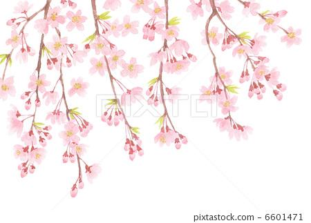 树枝低垂的樱花树
