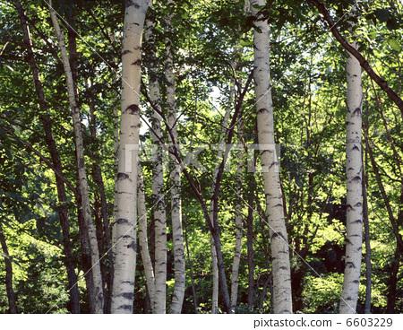 照片: 森林 日本白桦 银桦树