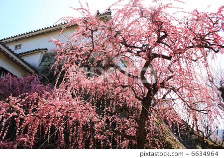 树枝低垂的李树 垂梅 日本梅子