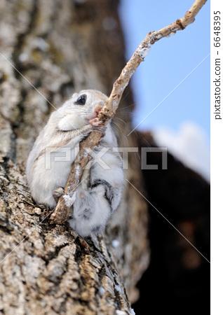 日本鼯鼠 小飞鼠 野生动物-图库照片 [6648395]