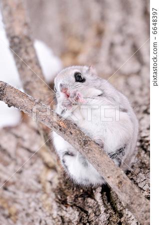 日本鼯鼠 小飞鼠 野生动物