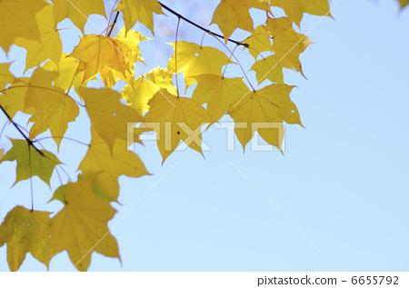 背景 壁纸 绿色 绿叶 树叶 银杏 银杏树 银杏叶 植物 桌面 450_317