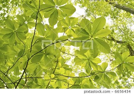 照片: 树叶 银杏叶 叶子