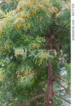 杉木花粉 日本柳杉 树