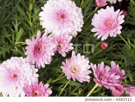 亲切 首页 照片 植物_花 花 花瓣 浅粉色 温室 亲切  *pixta限定素材