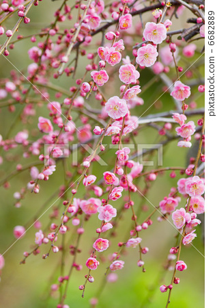 花朵 树枝低垂的李树 梅花